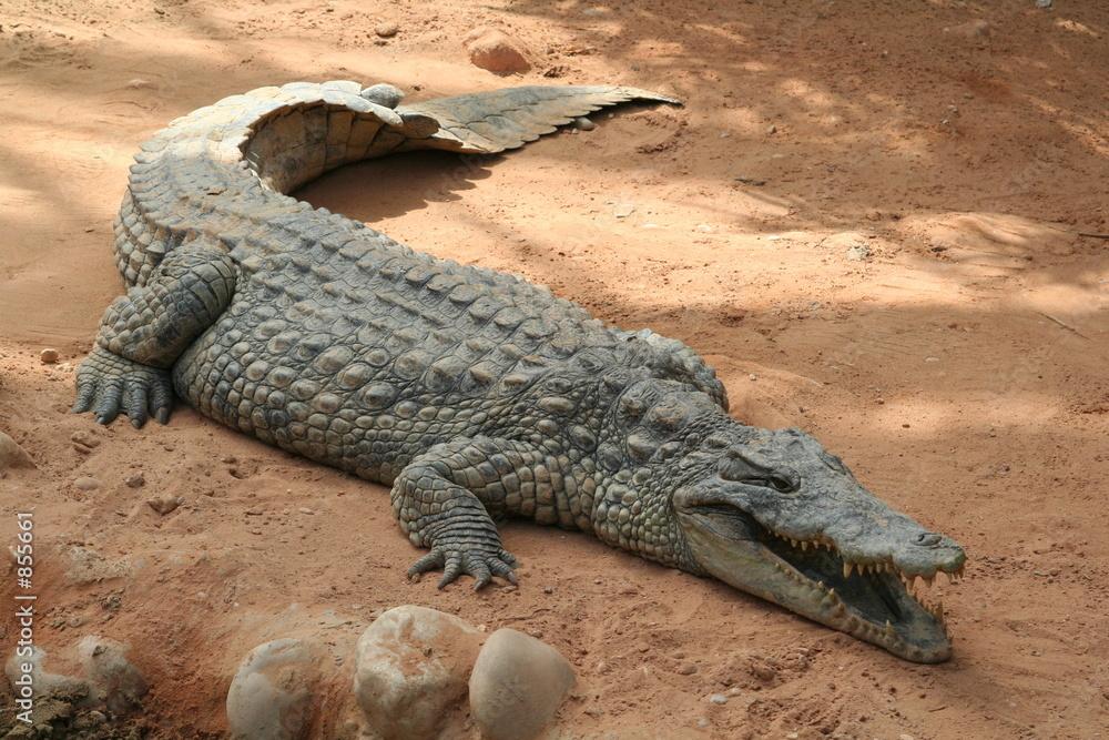 Fototapeta afryka aligator krokodyl wiwarium - Dekowizja.pl