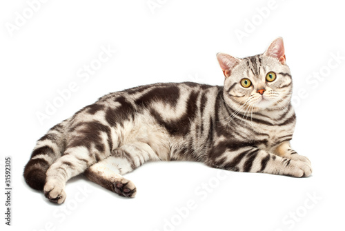 Amerykański Krótkowłosy Kot Fototapety Koty Dekowizjapl