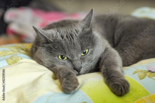 Popielaty Kot Leży W łóżku Fototapety Koty Dekowizjapl